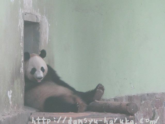 断酒主婦はるかが撮った上海動物園のぐうたらパンダ