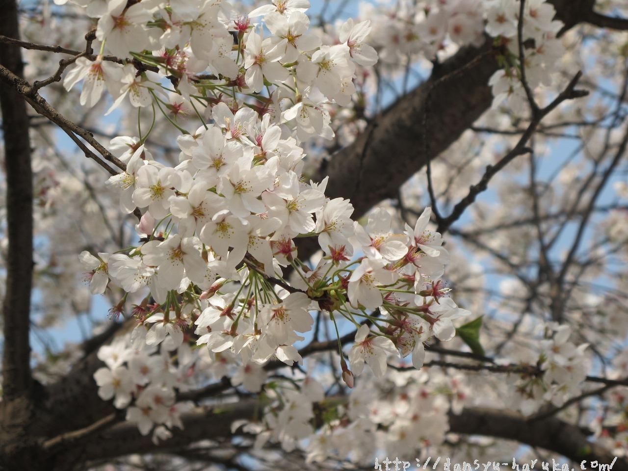 断酒主婦はるかが撮った桜の花