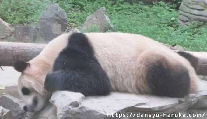 断酒主婦はるかが撮ったぐうたらパンダ