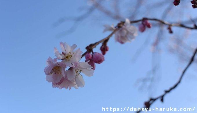 断酒主婦はるかが撮った桜
