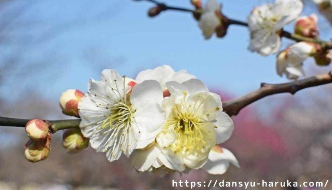 断酒主婦はるかが撮った梅の花